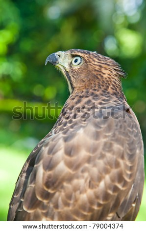 Portrait of Shikra (Accipiter badius) is a small bird of prey in the family Accipitridae which also includes many other diurnal raptors such as eagles, buzzards and harriers.