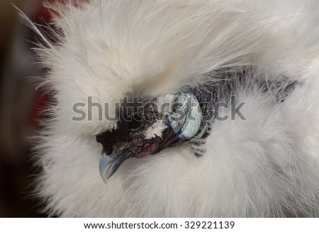 Portrait of Showgirl rooster (Mixed breed of Silkie and Naked Neck chicken) - stock photo