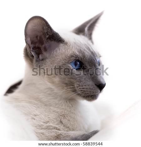 portrait of siamese kitten, shallow depth of field