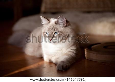 Portrait of siberian cat - stock photo