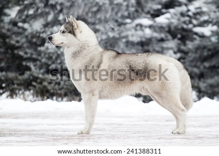 Portrait of Siberian Husky in winter - stock photo