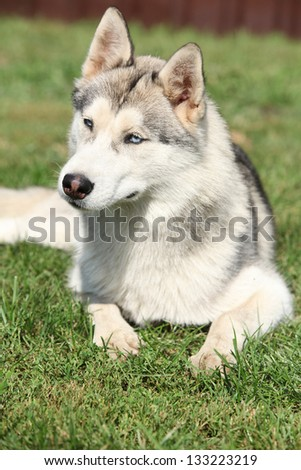 Portrait of Siberian husky lying on the grass