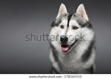 Portrait of siberian husky on gray background - stock photo
