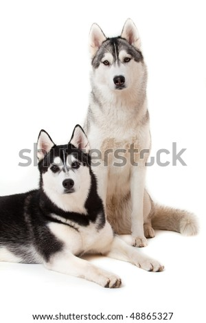 portrait of siberian husky on white background - stock photo
