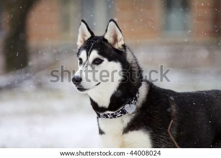 portrait of siberian husky outdoor - stock photo