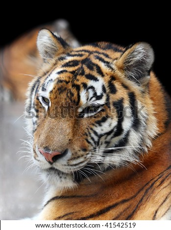Portrait of siberian tiger. Black background at the top