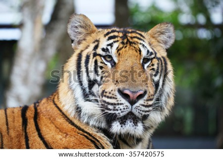 Portrait of Siberian tiger outdoors close up