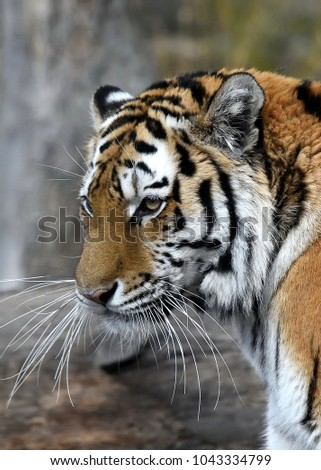 Portrait of Siberian Tiger (Panthera tigris altaica) femail