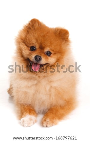 Portrait of sitting pomeranian spitz dog isolated on white background. Studio