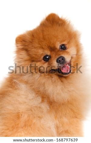 Portrait of sitting pomeranian spitz dog isolated on white background. Studio - stock photo