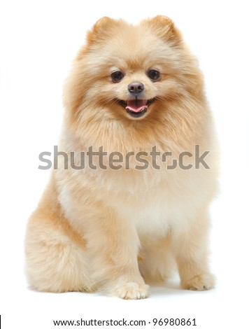 Portrait of sitting pomeranian spitz isolated on white - stock photo