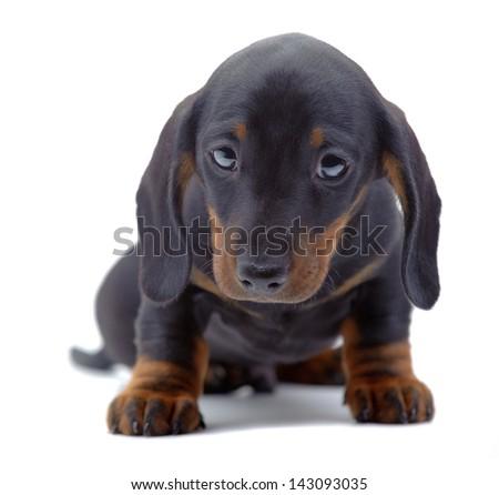 Portrait of sitting puppy of Dachshund on white - stock photo