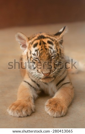 Portrait of Sleeping Baby Tiger in a Cage.  Small amount of noise due to low light in cage and camera with flash is prohibited. - stock photo
