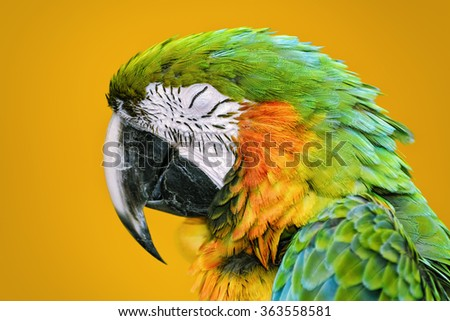 Portrait of Sleeping Macaw Parrot over the Yellow Background - stock photo