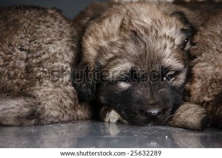 Portrait of sleeping 1,5 month old kavkazskaya ovcharka with mother  ( Caucasian shepherd dog puppy ) - stock photo
