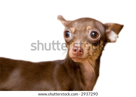portrait of small chihuahua dog, focus on left eye