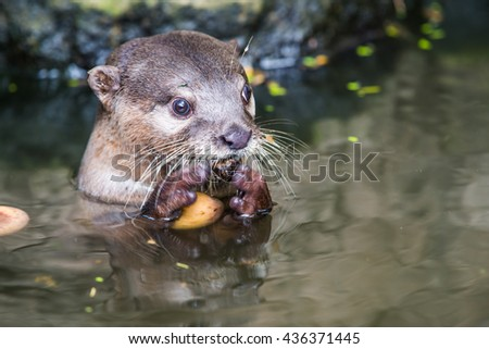 Portrait of Small-Clawed Otter, Thailand - stock photo