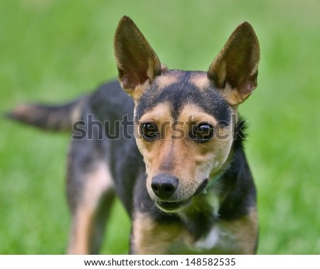 Portrait of small mixed breed dog - stock photo