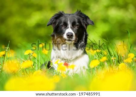Portrait of smiling border collie - stock photo