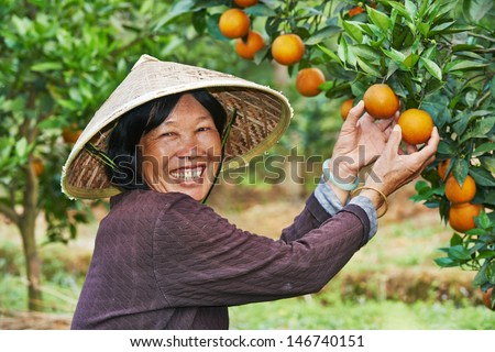 Portrait of smiling chinese asian woman worker at farm work gathering citrus oranges in agriculture fruit garden - stock photo