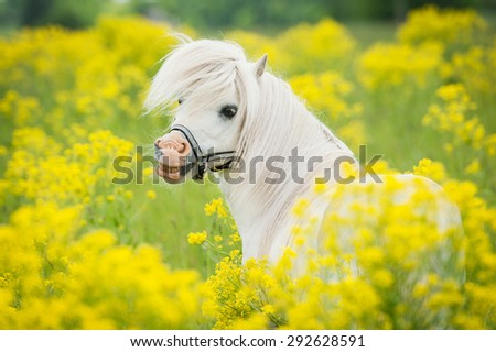Portrait of smiling shetland pony on the field with yellow flowers - stock photo