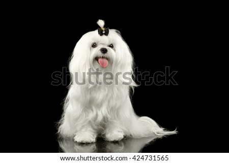 Portrait of Smiling White Maltese Dog Sitting with tie Looking in Camera isolated on Black background - stock photo
