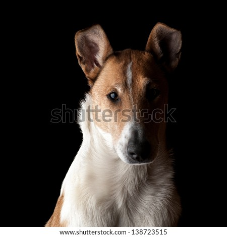 Portrait of Smooth Collie in the dark. Focus on eyes. - stock photo