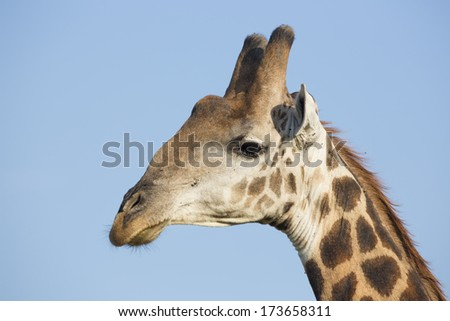 Portrait of Southern Giraffe male in South Africa's Mala Mala Game Reserve