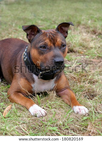 Portrait of Staffordshire Bull Terrier puppy - stock photo