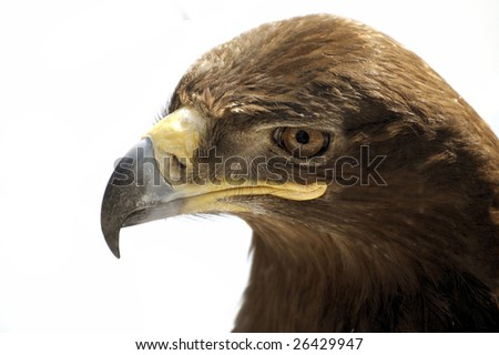portrait of steppe eagle on a white background