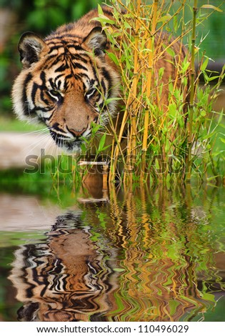 Portrait of Sumatran Tiger Panthera Tigris Sumatrae big cat in captivity reflected in calm water - stock photo