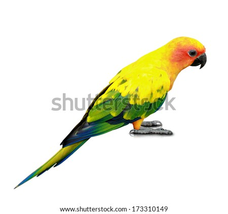 portrait of Sun Conure isolated on white background - stock photo