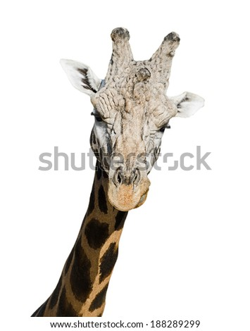 Portrait of surprised giraffe. Isolation on white background