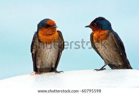 Portrait of swallows - stock photo