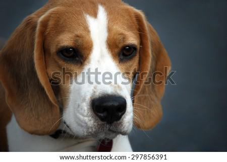 Portrait of sweet beagle puppy - stock photo