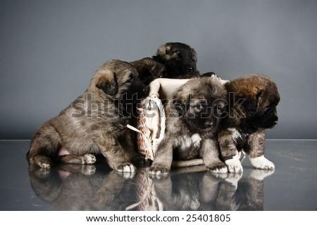 Portrait of sweet 1,5 month old kavkazskaya ovcharka in basket  ( Caucasian shepherd dog puppies ) - stock photo