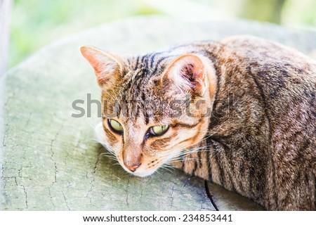 Portrait of Thai cat, Thailand. - stock photo