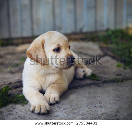 Portrait of the adorable golden retriever puppy in the yard - stock photo