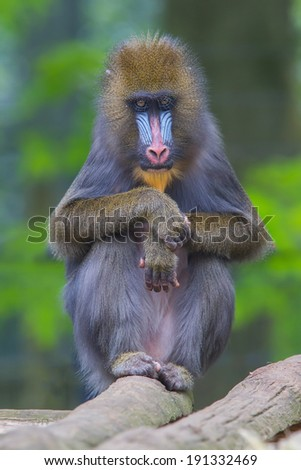 Portrait of the adult mandrill in it's natural habitat - stock photo
