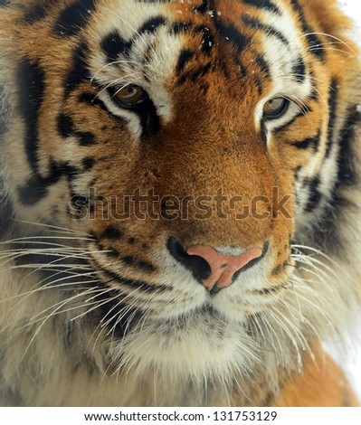 Portrait of the Amur tiger in the spring - stock photo