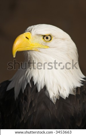 Portrait of the Bald Eagle (Haliaeetus leucocephalus).