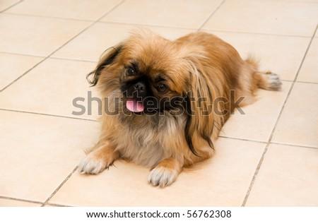 portrait of the beautiful pedigreed  pekingese - stock photo