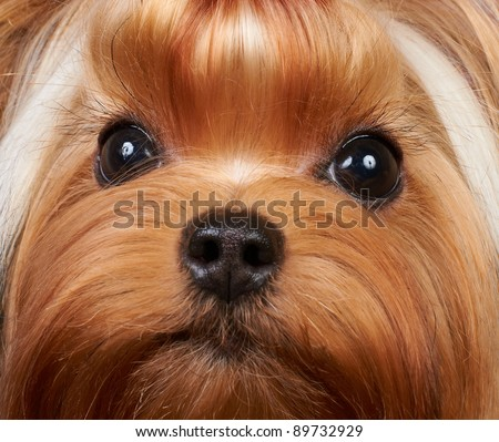 Portrait of the beautiful Yorkshire Terrier with long eyelashes - stock photo