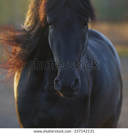 Portrait of the black Frisian horse in freedom - stock photo
