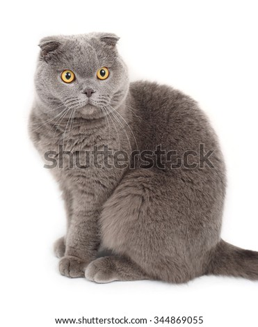 Portrait of the British short-haired lop-eared cat on a white background.