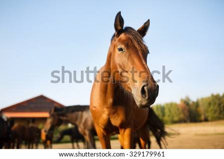Portrait of the brown horse in the meadow at autumn time - stock photo