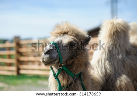 portrait of the camel on blurred background - stock photo