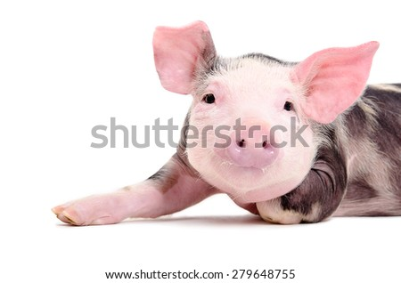 Portrait of the charming little pig closeup isolated on white background - stock photo