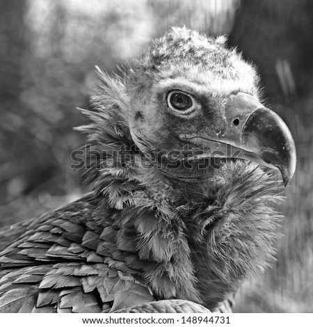 Portrait of The Cinereous Vulture (Aegypius monachus) also known as the Black Vulture, Monk Vulture, or Eurasian Black Vulture