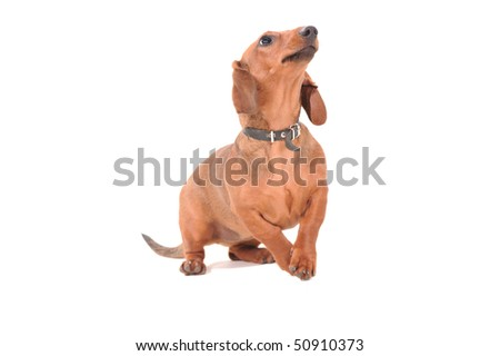 Portrait Of The dachshund Dog Isolated On White